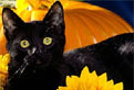 Halloween cu o Pisica