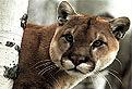 Puma in Puzzle