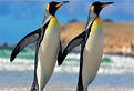 Puzzle cu Pinguini