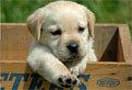Puzzle cu un Labrador Retriever
