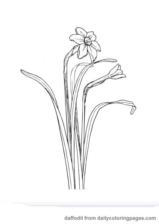 Narcise Flori De Primavara