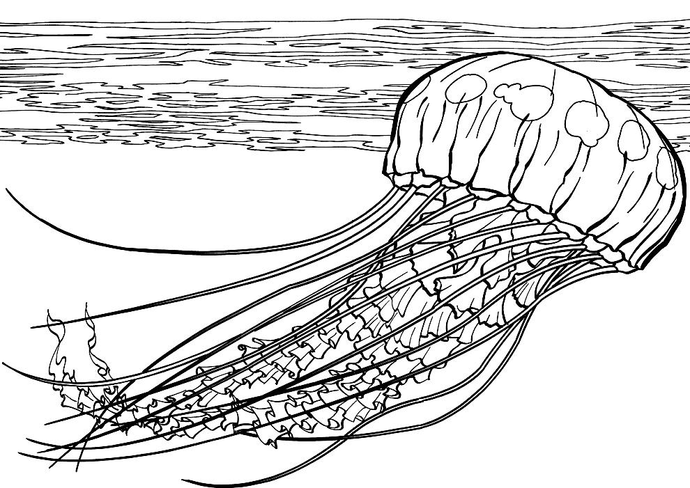 O meduza gigant