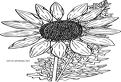 Floare salbatica