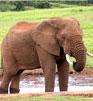 Elefantul African in Puzzle