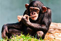 Cimpanzeul din Puzzle