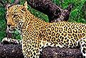 Leopardul din Puzzle