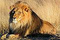 Leul din Puzzle