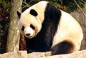 Panda in Puzzle