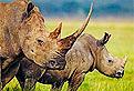 Rinocerii in Puzzle