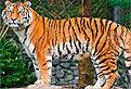 Tigrul din Puzzle
