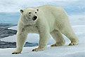 Ursul Polar in Puzzle
