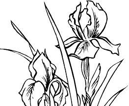 Iris de colorat